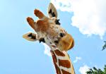 giraffe-smiling